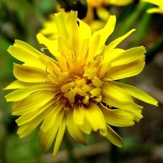 Flowers: Crepis vesicaria. ~ By Antonino Messina. ~ Copyright © 2020 Antonino Messina. ~ ninomes[at]gmail.com ~ Acta Plantarum -  www.actaplantarum.org