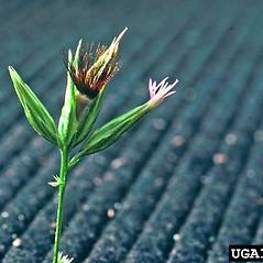 Flowers: Crupina vulgaris. ~ By Utah State University. ~ Copyright © 2020 CC BY-NC 3.0. ~  ~ Bugwood - www.bugwood.org/