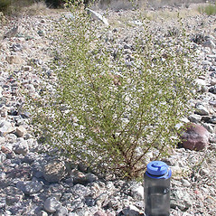 Plant form: Dittrichia graveolens. ~ By Keir Morse. ~ Copyright © 2020 Keir Morse. ~ www.keiriosity.com ~ www.keiriosity.com
