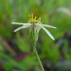 Flowers: Doellingeria umbellata. ~ By Arthur Haines. ~ Copyright © 2021. ~ arthurhaines[at]wildblue.net