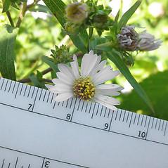 Flowers: Doellingeria umbellata. ~ By Glen Mittelhauser. ~ Copyright © 2021 Glen Mittelhauser. ~ www.mainenaturalhistory.org