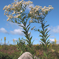 Plant form: Doellingeria umbellata. ~ By Marilee Lovit. ~ Copyright © 2021 Marilee Lovit. ~ lovitm[at]gmail.com