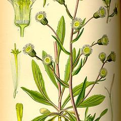 Plant form: Erigeron acris. ~ By Otto Wilhelm Thome. ~  Public Domain. ~  ~ Robert W. Freckmann Herbarium, U. of Wisconsin-Stevens Point