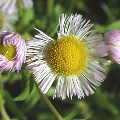 Flowers: Erigeron philadelphicus. ~ By Steven Baskauf. ~ Copyright © 2020 CC-BY-NC-SA. ~  ~ Bioimages - www.cas.vanderbilt.edu/bioimages/frame.htm