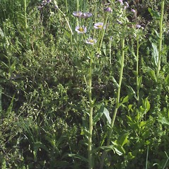 Plant form: Erigeron philadelphicus. ~ By Steven Baskauf. ~ Copyright © 2021 CC-BY-NC-SA. ~  ~ Bioimages - www.cas.vanderbilt.edu/bioimages/frame.htm