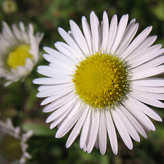 Flowers: Erigeron strigosus. ~ By Marilee Lovit. ~ Copyright © 2021 Marilee Lovit. ~ lovitm[at]gmail.com