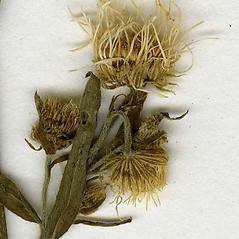 Fruits: Erigeron strigosus. ~ By CONN Herbarium. ~ Copyright © 2021 CONN Herbarium. ~ Requests for image use not currently accepted by copyright holder ~ U. of Connecticut Herbarium - bgbaseserver.eeb.uconn.edu/