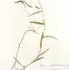 Plant form: Euchiton involucratus. ~ By University of Massachusetts Herbarium (MASS). ~ Copyright © 2020 University of Massachusetts Herbarium. ~ University of Massachusetts Herbarium ~ U. of Massachusetts Herbarium