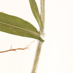 Stems: Euchiton involucratus. ~ By University of Massachusetts Herbarium (MASS). ~ Copyright © 2020 University of Massachusetts Herbarium. ~ University of Massachusetts Herbarium ~ U. of Massachusetts Herbarium