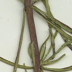Stems: Eupatorium hyssopifolium. ~ By Missouri Botanical Garden. ~ Copyright © 2021 CC-BY-NC-SA. ~  ~ Tropicos, Missouri Botanical Garden - www.tropicos.org