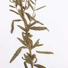 Leaves: Eupatorium torreyanum. ~ By Amherst College Herbarium. ~ Copyright © 2020 Amherst College Herbarium. ~ Amherst College Herbarium