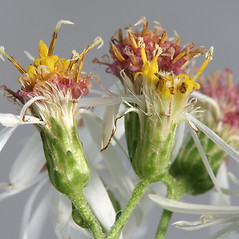 Flowers: Eurybia divaricata. ~ By Arieh Tal. ~ Copyright © 2020 Arieh Tal. ~ http://botphoto.com/ ~ Arieh Tal - botphoto.com
