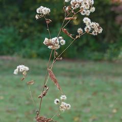 Fruits: Eurybia divaricata. ~ By Arieh Tal. ~ Copyright © 2020 Arieh Tal. ~ http://botphoto.com/ ~ Arieh Tal - botphoto.com
