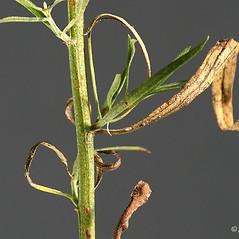 Stems: Euthamia caroliniana. ~ By Arieh Tal. ~ Copyright © 2021 Arieh Tal. ~ http://botphoto.com/ ~ Arieh Tal - botphoto.com