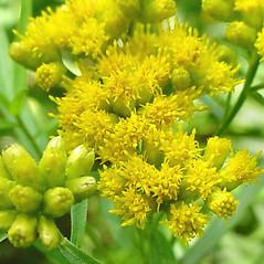 Flowers: Euthamia graminifolia. ~ By Glen Mittelhauser. ~ Copyright © 2021 Glen Mittelhauser. ~ www.mainenaturalhistory.org
