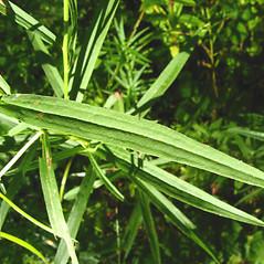 Leaves: Euthamia graminifolia. ~ By Donna Kausen. ~ Copyright © 2021 Donna Kausen. ~ 33 Bears Den, Addison, ME 04606