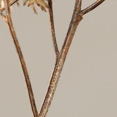Stems: Euthamia graminifolia. ~ By Arieh Tal. ~ Copyright © 2020 Arieh Tal. ~ http://botphoto.com/ ~ Arieh Tal - botphoto.com