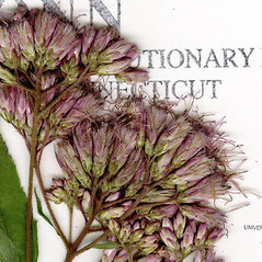 Flowers: Eutrochium dubium. ~ By CONN Herbarium. ~ Copyright © 2020 CONN Herbarium. ~ Requests for image use not currently accepted by copyright holder ~ U. of Connecticut Herbarium - bgbaseserver.eeb.uconn.edu/