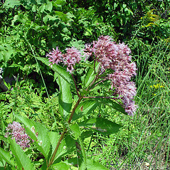 Plant form: Eutrochium maculatum. ~ By Arthur Haines. ~ Copyright © 2020. ~ arthurhaines[at]wildblue.net