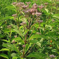 Plant form: Eutrochium maculatum. ~ By Glen Mittelhauser. ~ Copyright © 2020 Glen Mittelhauser. ~ www.mainenaturalhistory.org