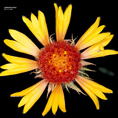 Flowers: Gaillardia aristata. ~ By Gerry Carr. ~ Copyright © 2019 Gerry Carr. ~ gdcarr[at]comcast.net ~ Oregon Flora Image Project - www.botany.hawaii.edu/faculty/carr/ofp/ofp_index.htm