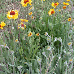 Plant form: Gaillardia aristata. ~ By Mary Ellen Harte. ~ Copyright © 2021 CC BY-NC 3.0. ~  ~ Bugwood - www.bugwood.org/