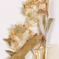 Flowers: Gamochaeta pensylvanica. ~ By University of Massachusetts Herbarium (MASS). ~ Copyright © 2021 University of Massachusetts Herbarium. ~ University of Massachusetts Herbarium ~ U. of Massachusetts Herbarium