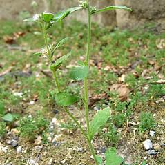 Plant form: Gamochaeta pensylvanica. ~ By Franco Giordana. ~ Copyright © 2020 Franco Giordana. ~ francogrd[at]gmail.com ~ Acta Plantarum -  www.actaplantarum.org