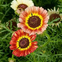 Flowers: Glebionis carinata. ~ By Paul S. Drobot. ~ Copyright © 2020 Paul S. Drobot. ~ www.plantstogrow.com, www.plantstockphotos.com ~ Robert W. Freckmann Herbarium, U. of Wisconsin-Stevens Point