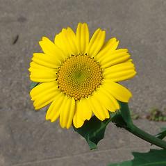 Flowers: Glebionis segetum. ~ By Paul Busselen . ~ Copyright © 2021 Paul Busselen . ~ No permission necessary; any use permitted ~ Plant Guide, Biology Department, Katholieke Universiteit Leuven, Campus Kortrijk