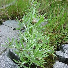 Plant form: Gnaphalium uliginosum. ~ By Glen Mittelhauser. ~ Copyright © 2019 Glen Mittelhauser. ~ www.mainenaturalhistory.org