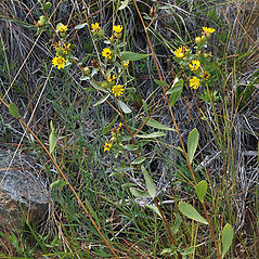 Plant form: Grindelia hirsutula. ~ By Gerry Carr. ~ Copyright © 2021 Gerry Carr. ~ gdcarr[at]comcast.net ~ Oregon Flora Image Project - www.botany.hawaii.edu/faculty/carr/ofp/ofp_index.htm
