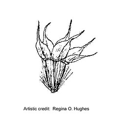 Fruits: Helenium amarum. ~ By Regina O. Hughes. ~  Public Domain. ~  ~ Reed, C.F. 1970. Selected weeds of the United States. USDA Agric. Res. Ser. Agric. Handbook 336