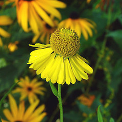 Flowers: Helenium autumnale. ~ By Arthur Haines. ~ Copyright © 2021. ~ arthurhaines[at]wildblue.net