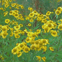 Plant form: Helenium autumnale. ~ By Arieh Tal. ~ Copyright © 2020 Arieh Tal. ~ http://botphoto.com/ ~ Arieh Tal - botphoto.com