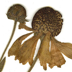 Fruits: Helenium flexuosum. ~ By CONN Herbarium. ~ Copyright © 2021 CONN Herbarium. ~ Requests for image use not currently accepted by copyright holder ~ U. of Connecticut Herbarium - bgbaseserver.eeb.uconn.edu/