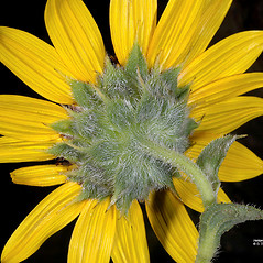 Flowers: Helianthus annuus. ~ By Gerry Carr. ~ Copyright © 2020 Gerry Carr. ~ gdcarr[at]comcast.net ~ Oregon Flora Image Project - www.botany.hawaii.edu/faculty/carr/ofp/ofp_index.htm
