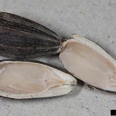 Fruits: Helianthus annuus. ~ By Joseph Berger. ~ Copyright © 2021 CC BY 3.0. ~  ~ Bugwood - www.bugwood.org/