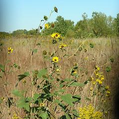 Plant form: Helianthus annuus. ~ By Merel Black. ~ Copyright © 2021 Merel R. Black. ~ Merel R. Black, University of Wisconsin-Stevens Point ~ Robert W. Freckmann Herbarium, U. of Wisconsin-Stevens Point