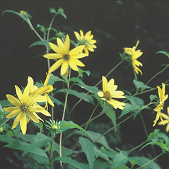 Plant form: Helianthus decapetalus. ~ By Arieh Tal. ~ Copyright © 2021 Arieh Tal. ~ http://botphoto.com/ ~ Arieh Tal - botphoto.com