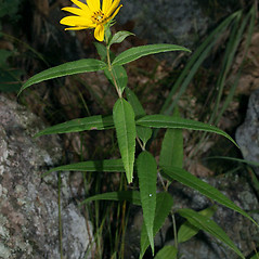 Plant form: Helianthus hirsutus. ~ By Keir Morse. ~ Copyright © 2020 Keir Morse. ~ www.keiriosity.com ~ www.keiriosity.com