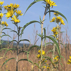 Leaves: Helianthus maximiliani. ~ By Arieh Tal. ~ Copyright © 2020 Arieh Tal. ~ http://botphoto.com/ ~ Arieh Tal - botphoto.com