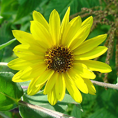 Flowers: Helianthus mollis. ~ By Arthur Haines. ~ Copyright © 2021. ~ arthurhaines[at]wildblue.net