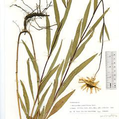 Plant form: Helianthus pauciflorus. ~ By The Herbarium of The Morton Arboretum (MOR). ~ Copyright © 2020 The Morton Arboretum. ~ Ed Hedborn, The Morton Arboretum ~ The Herbarium of The Morton Arboretum