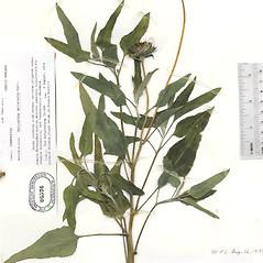 Leaves: Helianthus petiolaris. ~ By The Herbarium of The Morton Arboretum (MOR). ~ Copyright © 2021 The Morton Arboretum. ~ Ed Hedborn, The Morton Arboretum ~ The Herbarium of The Morton Arboretum