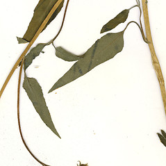 Leaves: Helianthus petiolaris. ~ By CONN Herbarium. ~ Copyright © 2020 CONN Herbarium. ~ Requests for image use not currently accepted by copyright holder ~ U. of Connecticut Herbarium - bgbaseserver.eeb.uconn.edu/