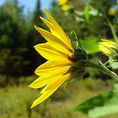 Flowers: Helianthus tuberosus. ~ By Arthur Haines. ~ Copyright © 2020. ~ arthurhaines[at]wildblue.net