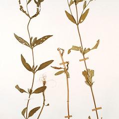 Plant form: Heliomeris multiflora. ~ By Amherst College Herbarium. ~ Copyright © 2020 Amherst College Herbarium. ~ Amherst College Herbarium