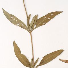Leaves: Heliomeris multiflora. ~ By Amherst College Herbarium. ~ Copyright © 2020 Amherst College Herbarium. ~ Amherst College Herbarium