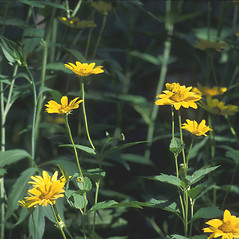 Plant form: Heliopsis helianthoides. ~ By John Lynch. ~ Copyright © 2021 New England Wild Flower Society. ~ Image Request, images[at]newenglandwild.org